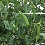 スナップエンドウの栽培と収穫時期とは10月~6月