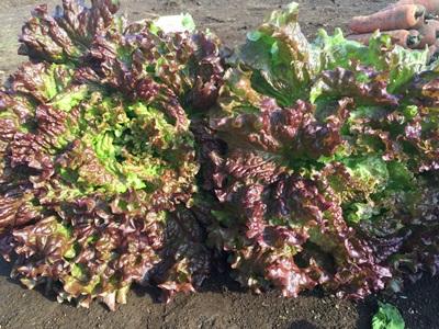 12月12日サニーレタス収穫写真