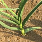 ニンニクの栽培期間は長い!!9月~6月