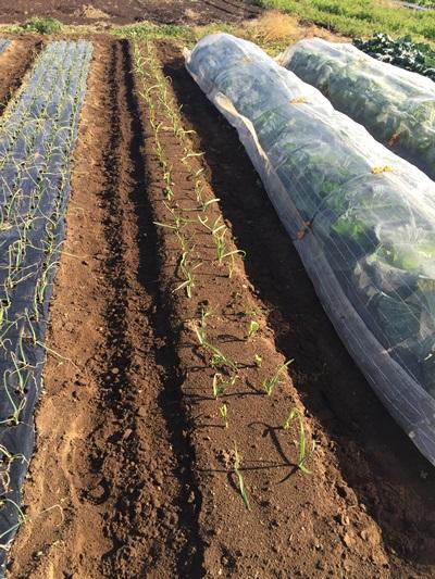 ニンニク追肥の準備の写真