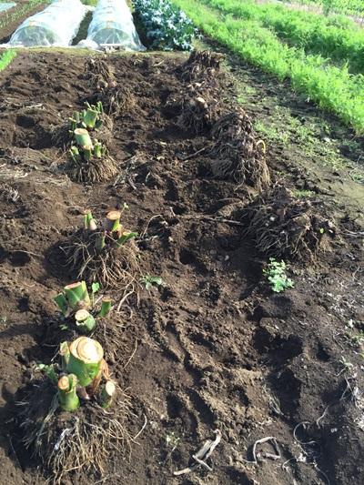 サトイモ収穫後の様子