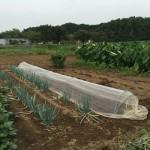 先日の大雨の我が家の家庭菜園の影響