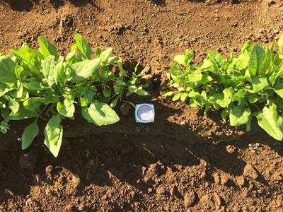 ホウレンソウ土壌調査
