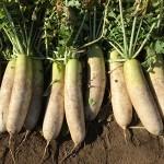 サラダ、煮物、おろしに切り干しと万能野菜の大根の育て方9月~12月