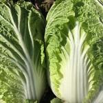 豚肉ともよく合い、スープ、クリーム煮、浅漬けも最高!白菜栽培8月~12月