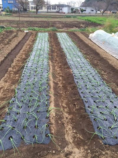 定植終了のタマネギの畝