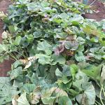 美味しいサツマイモの栽培方法やサツマイモの種類とは5月~11月