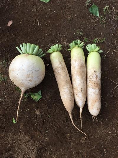 収穫した大根の写真