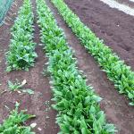 ほうれん草のズボラな育て方(栽培方法と注意点)9月~1月