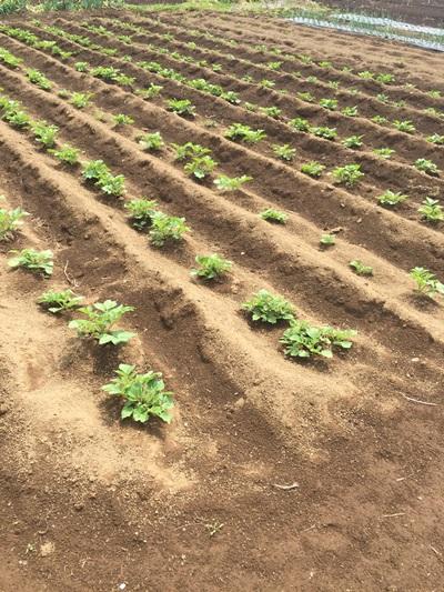ジャガイモ発芽2