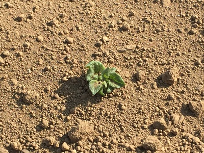 ジャガイモ発芽