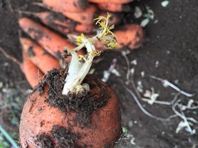 掘起したニンジンの芽