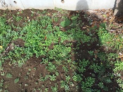 サトイモ種芋保存場所