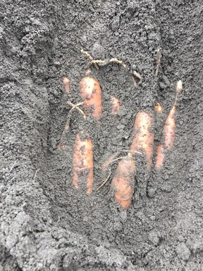 ニンジンの保存場所の土を掘った所