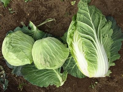 初収穫のキャベツと白菜の写真