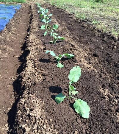 ブロッコリー苗の定植の様子
