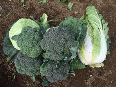 ブロッコリーなど収穫した野菜の様子
