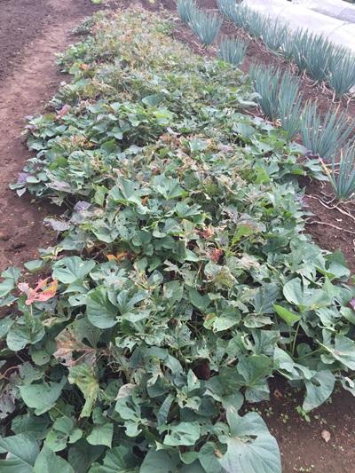 ナカジロシタバによる畝全体の被害