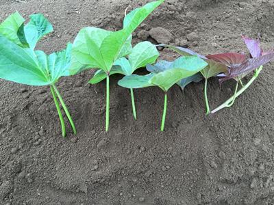 サツマイモ水平植え