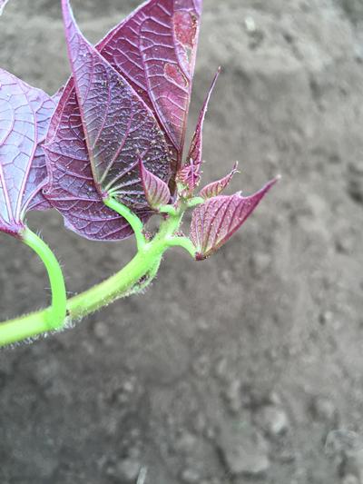 サツマイモ成長点