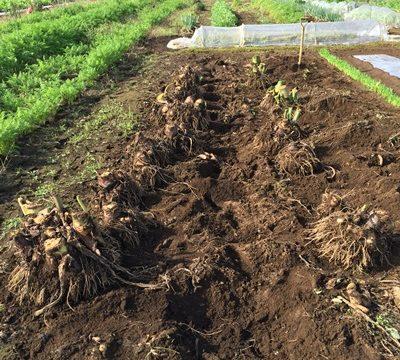 サトイモ収穫1