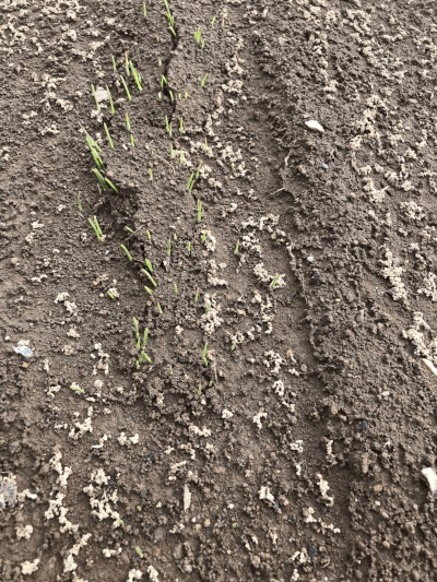 えん麦の発芽の様子2