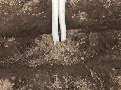 根の部分に土をかける