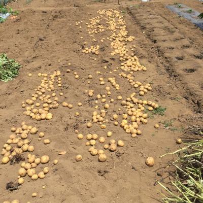 掘りたてのジャガイモ