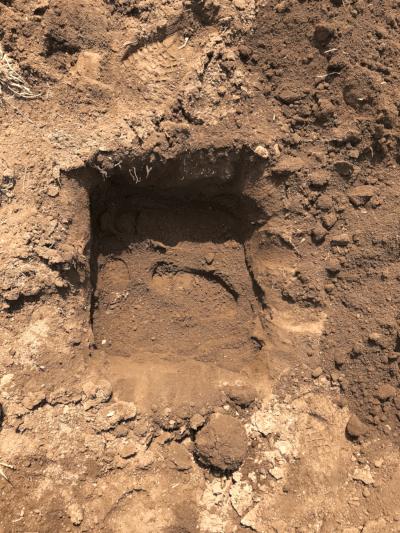 アスパラガス植替え穴