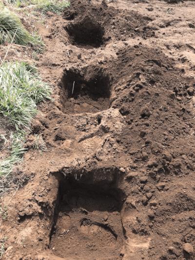 アスパラガスの植替え穴3つ