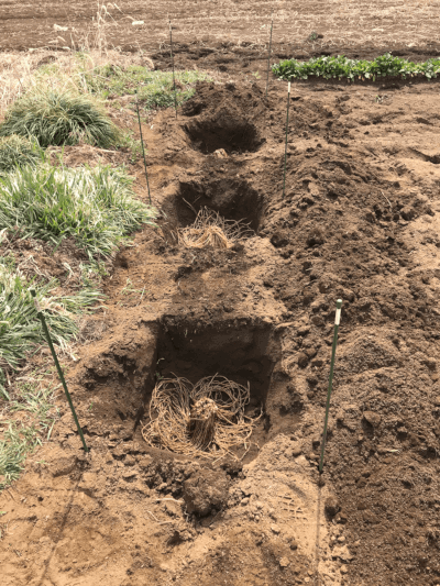アスパラガスの養生苗の定植場所に目印を置く