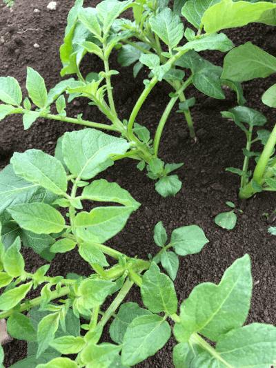 ジャガイモ芽かき前の様子2