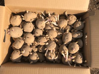 ジャガイモの種いも