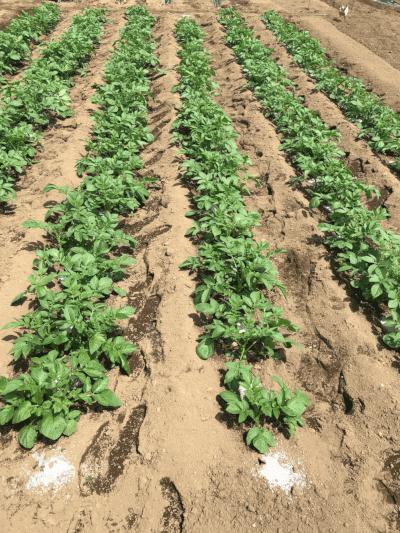 ジャガイモ追肥後の全体の様子
