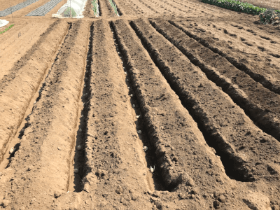 ジャガイモの定植溝