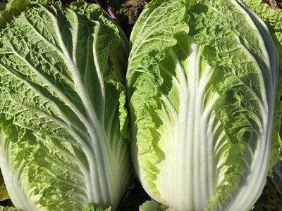 白菜の写真