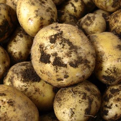 泥付のジャガイモの写真